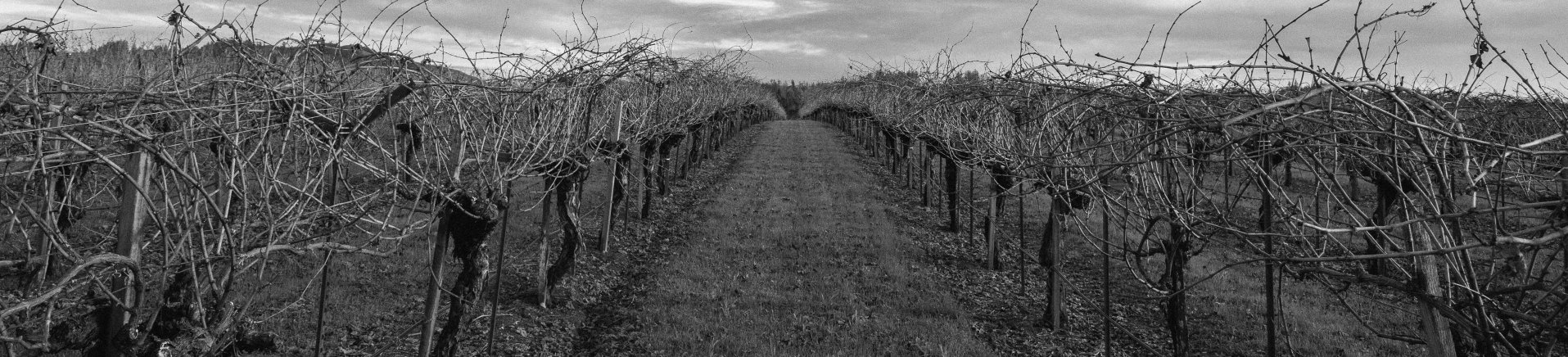 Our vines during dormancy before being pruned. A remarkable physiological change occurs within the vine to allows it to endure the cold winter months.