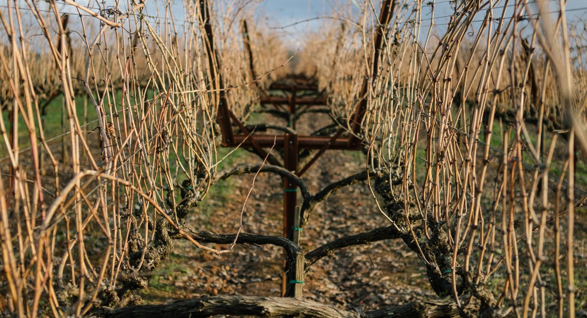 View of dormant vines at Alexander Mountain Estate