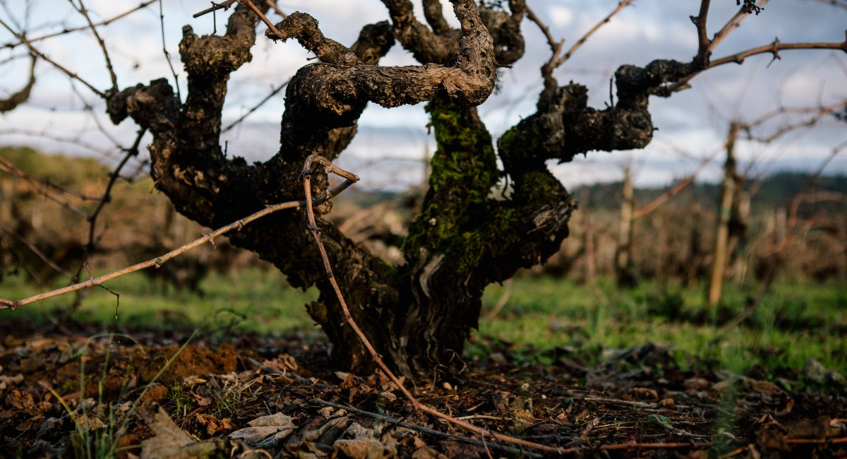 A gnarled, ancient vine that is over 120 years old and has witnessed the history of Alexander Valley winemaking.